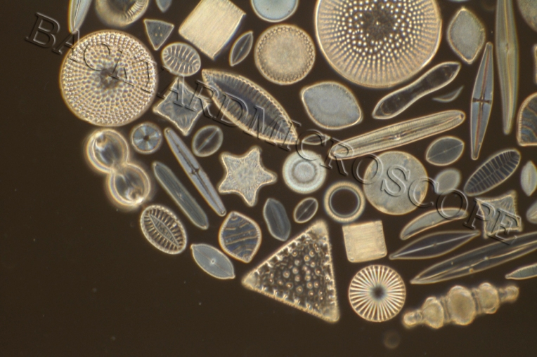 Diatoms: Jewels of the Sea